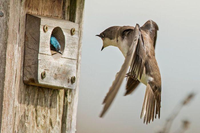 Квартирный вопрос Птицы, Ласточка, Фотография