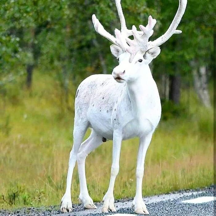 Белый олень нет не ты, ты ведь брюнет