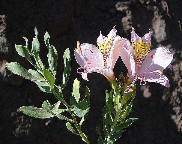 Альстромерия - фото, посадка и уход, описание Альстромерия, Комнатные растения, Домашние цветы, Длиннопост