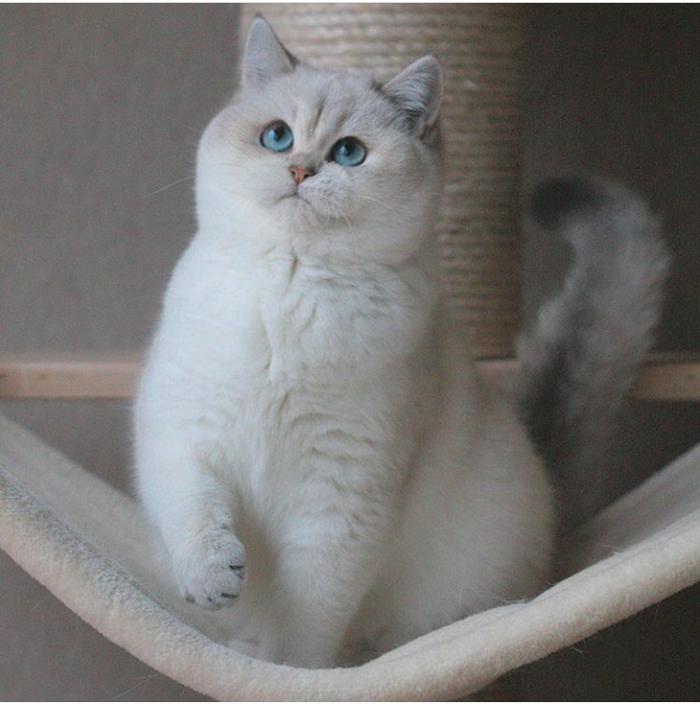 Плюшевый котик Кот, Плюшевый, Милота, Британский кот, Британская короткошерстная