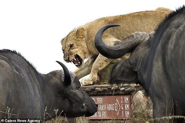 Буйволы окружили молодого льва Природа, Животные, Грация, Буйвол, В мире животных, Фотография, Видео, Длиннопост