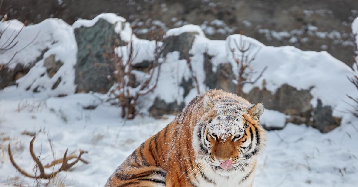 Прикольные картинки амурского тигра, днем рождения