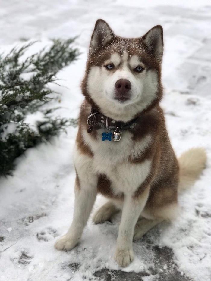 Хорошего мальчика припорошило Собака, Хаски, Снег, Зима