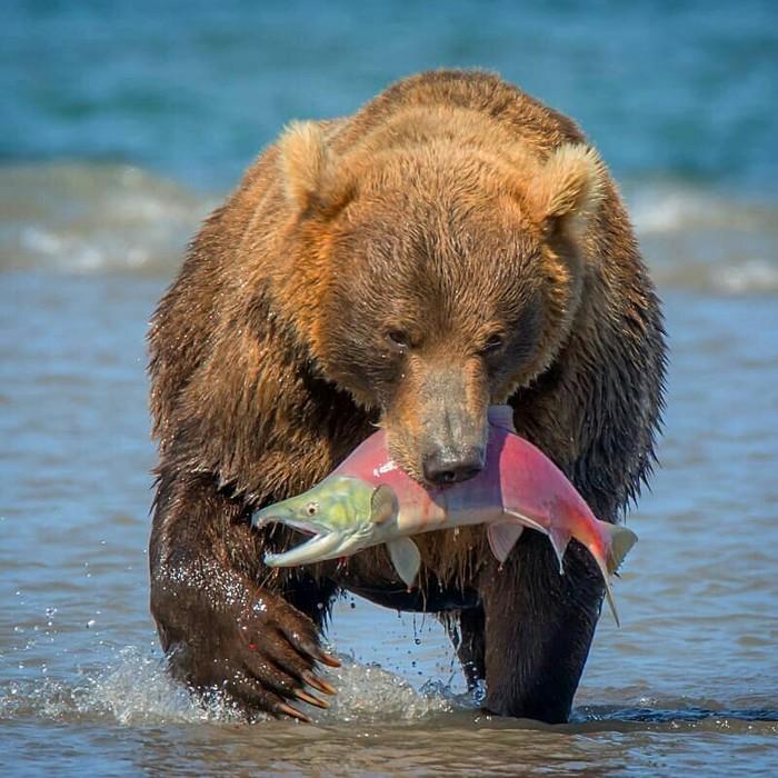 А вы знаете, что сегодня День медведя? Фотографии сняты на Камчатке @ratbud Животные, Фотография, Медведь, Камчатка, Россия, Природа, Дикая природа, Длиннопост