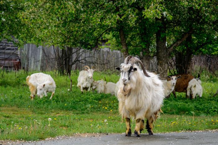 Из жизни коз Коза, Одуванчик