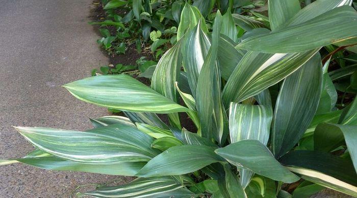Аспидистра - самое неубиваемое растение Цветы, Комнатные растения, Неприхотливые, Декоративно-Лиственные, Длиннопост