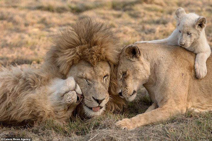 Семейная фотосессия львов Лев, Фотосессия, Южная африка, Семейное фото, Длиннопост, Животные