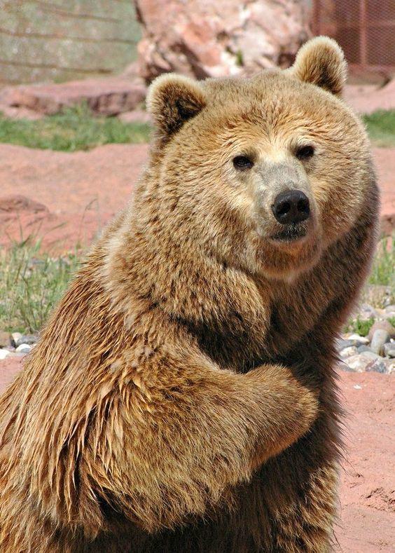 """Когда спрашивают: """"где твоя балалайка?"""" Фотография, Медведь, Животные"""
