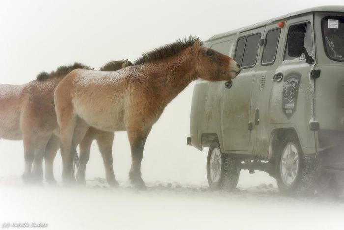 До центра подбросите? The National Geographic, Фотография, Лошадь, Снег, Холод, Мороз, Машина, Лошадь Пржевальского
