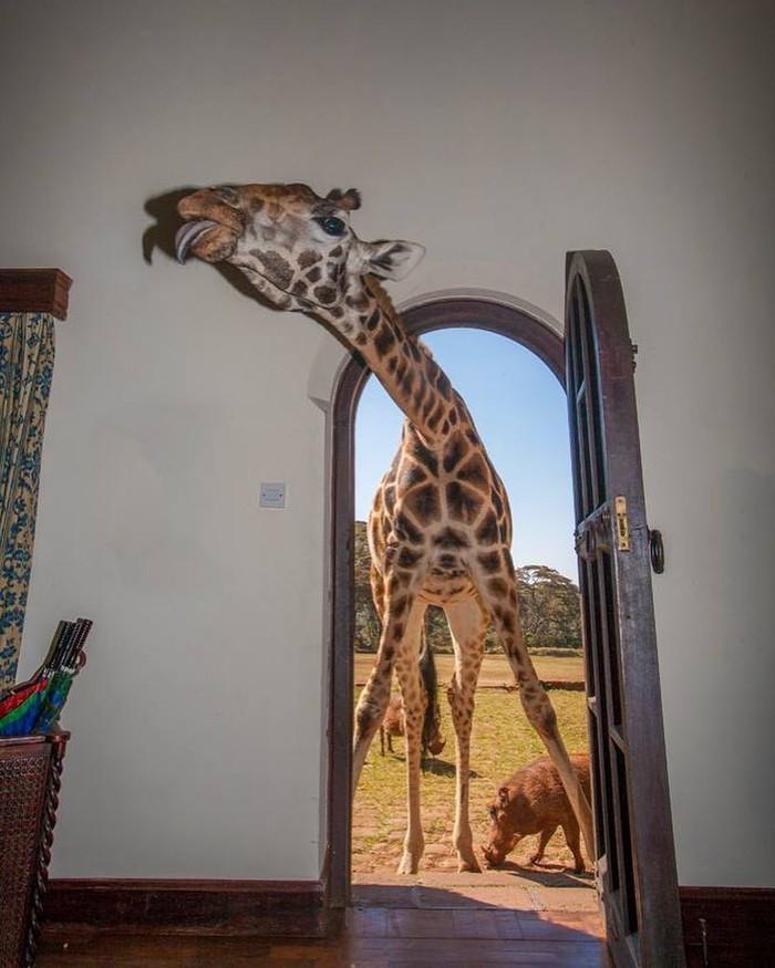 Можно в гости? Фотография, Жираф