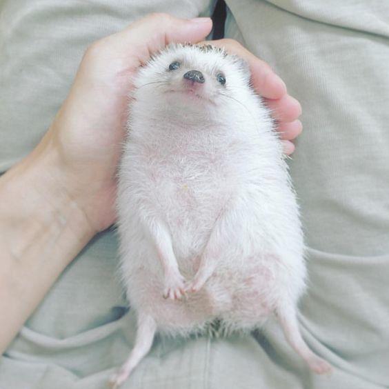 Счастливый ежик Счастливый ежик, Ёжик, Hedgehog, Длиннопост