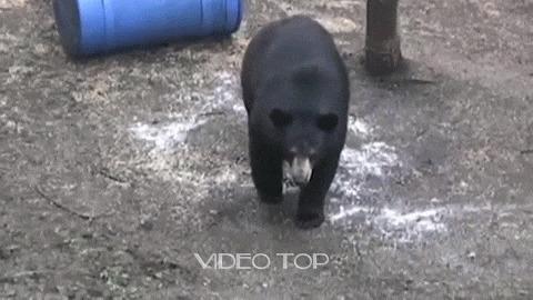Медведь Медведь, Охота, Хищник, Повезло, Гифка