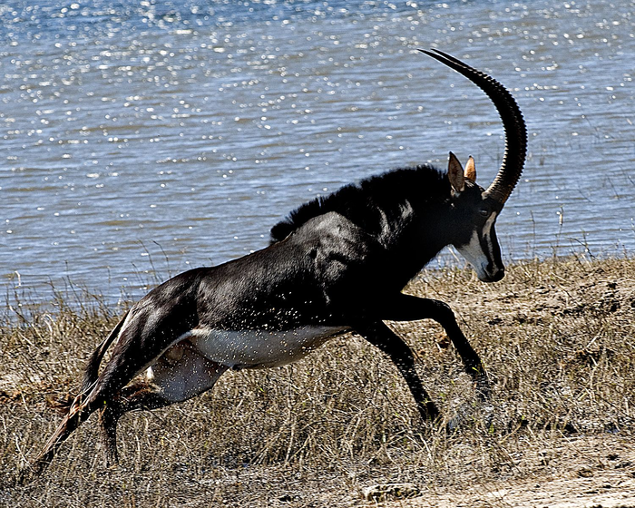 Чёрная антилопа Животные, Антилопа