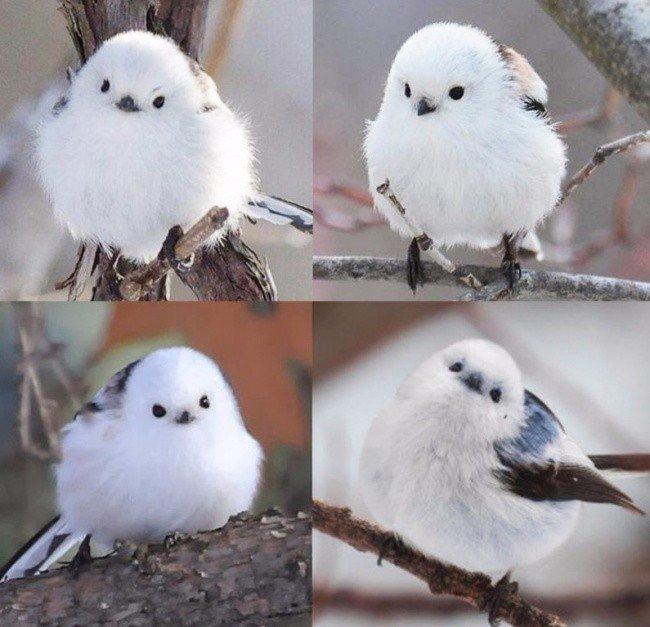 Минyта няшнoсти. Этo кoрейская cиничка Синица, Милота, Корея, Птицы