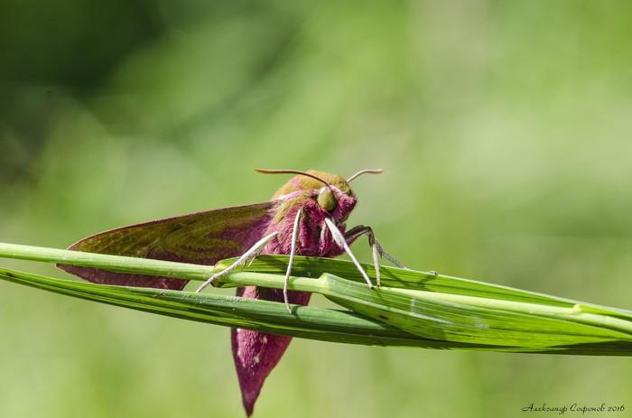 Винный бражник – «розовая колибри» Макро, Макросъемка, Моль