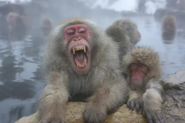 Японский макак: Банька-парилка, самки и ухмылка Японский макак, Дикие животные, Животные, Юмор, Природа, Зоология, Книга животных, Длиннопост