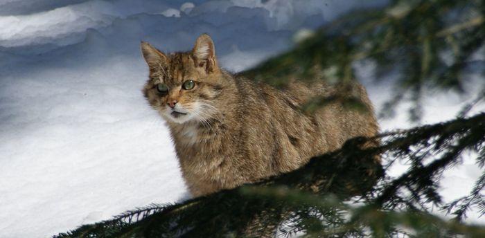 В отличие от собак, домашние кошки подросли за последние 2 тыс. лет Кот, Одомашнивание, Археологические находки, Эпоха викингов, Длиннопост