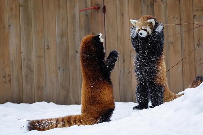 Руки вверх, это ограбление Животные, Панда, Фотография, Милота
