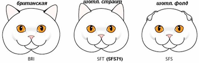 Почему Британская и Шотландская порода кошек-это РАЗНЫЕ породы и как их отличить. Кот, Британский кот, Шотландская вислоухая, Сравнение, Пикабу образовательный, Длиннопост