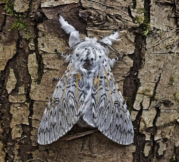 Гусеница и бабочка большой Гарпии Гусеница, Насекомые, Бабочка, Большая гарпия