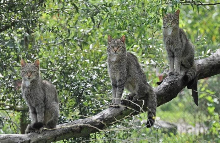 Зачем австралийцам «великая стена» против кошек Австралия, Люди и кошки, Длиннопост, Кот