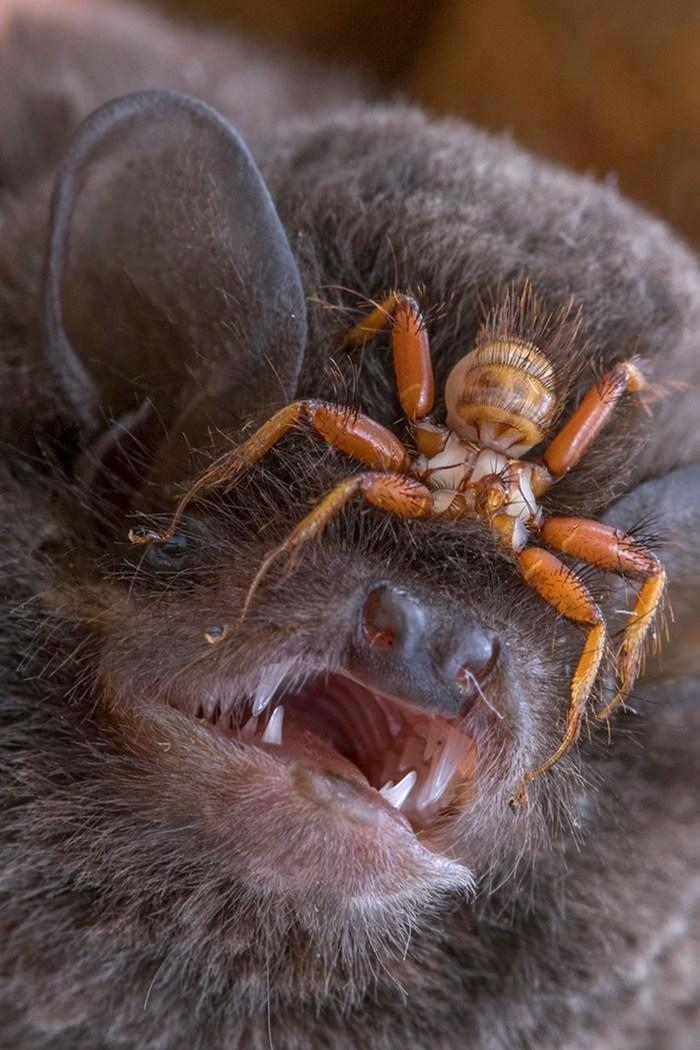 Nycteribiidae  на летучей мыши Летучая мышь, Насекомые, Муха-Кровососка, Паразиты