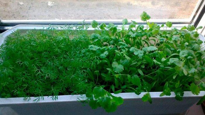 Витамины на окне Огурцы, Помидор, Петрушка, Укроп, Салат, На окне, Зелень, Длиннопост