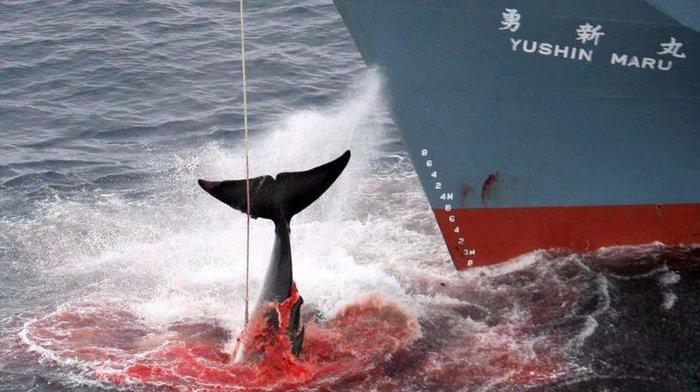 Япония возобновляет китобойный промысел, который запрещен во всем мире. Япония, Кит, Мясо, Промысел, Длиннопост, Китобой