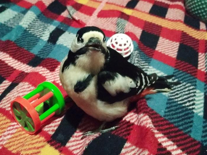 Пингвин Дятел, Большой пестрый дятел, Юмор