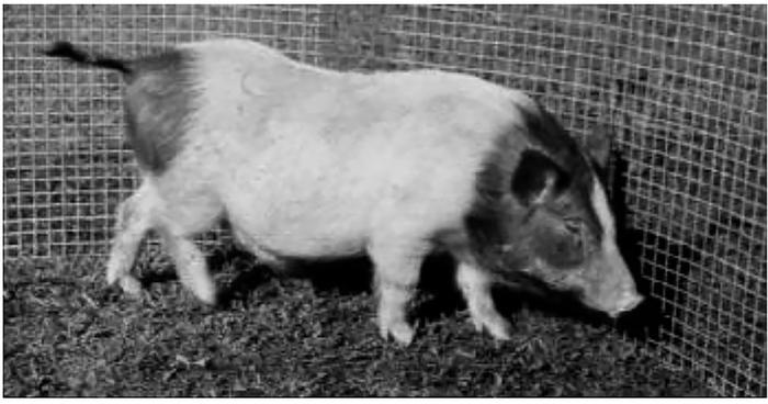 Маленькие, но очень полезные Академгородок, Мини-Свиньи, Экспериментальная свиноферма, Копипаста, Селекция, Длиннопост