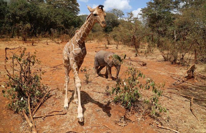 Крепкая дружба осиротевших слоненка и жирафа Слоненок, Жираф, Дружба, Африка, Длиннопост