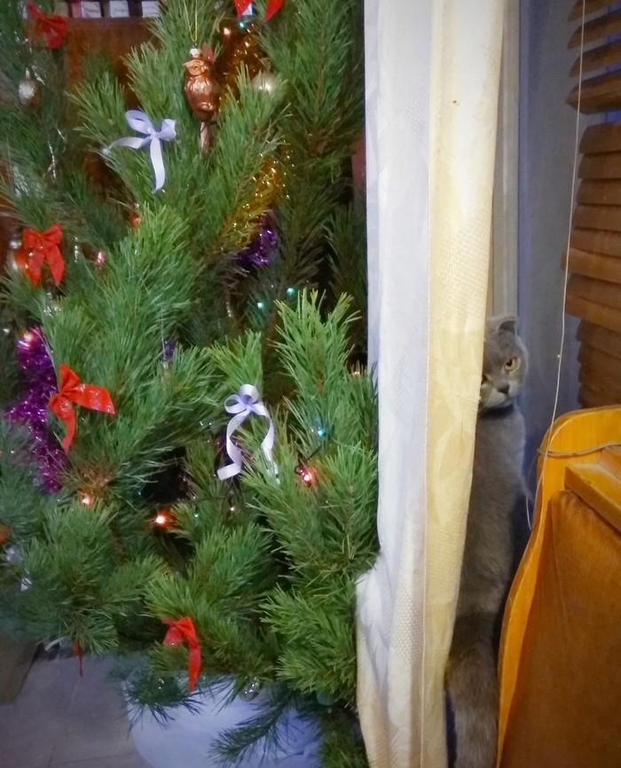 Кошка и елка Новогодняя елка, Кот, Безразличие, Шотландская вислоухая