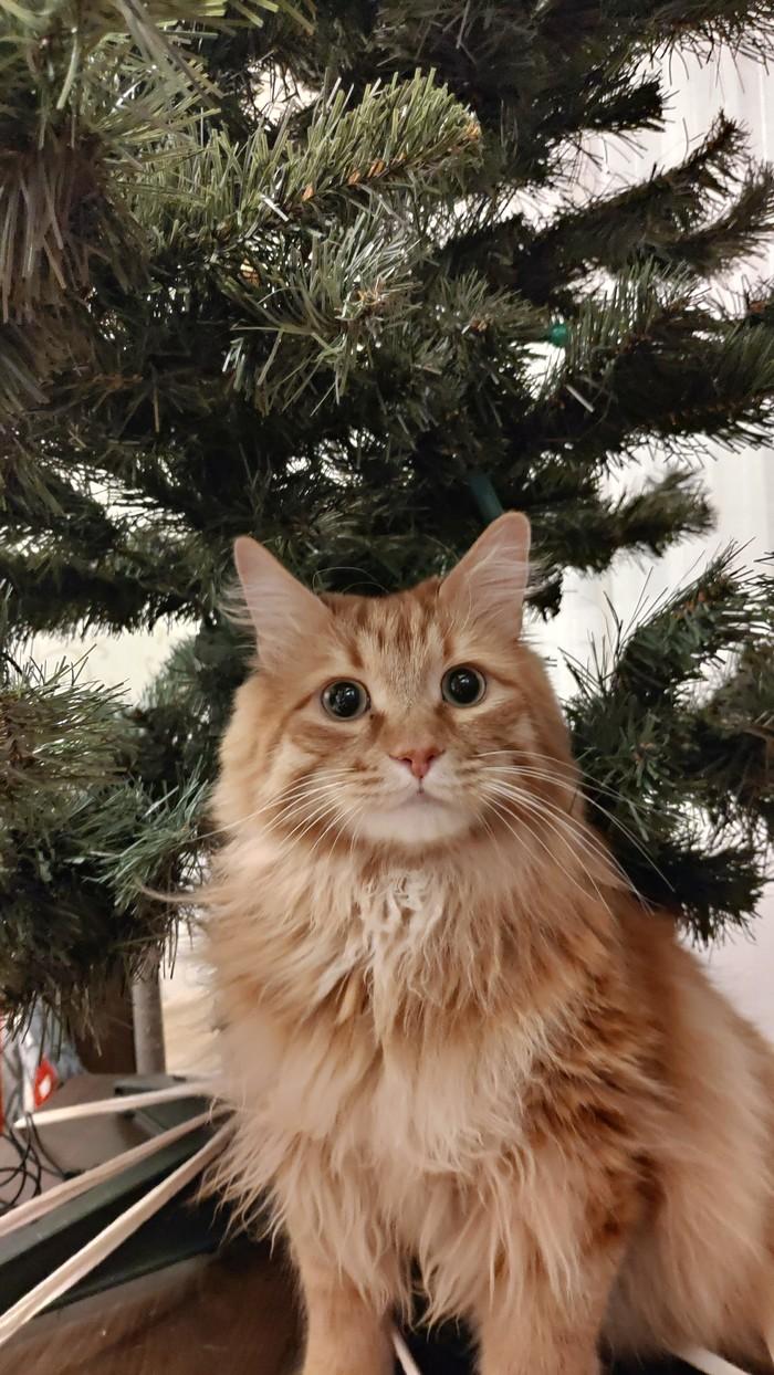Мой котейка Кот, Новогодняя елка, Кусь, Длиннопост, Курильский бобтейл, Гендальф