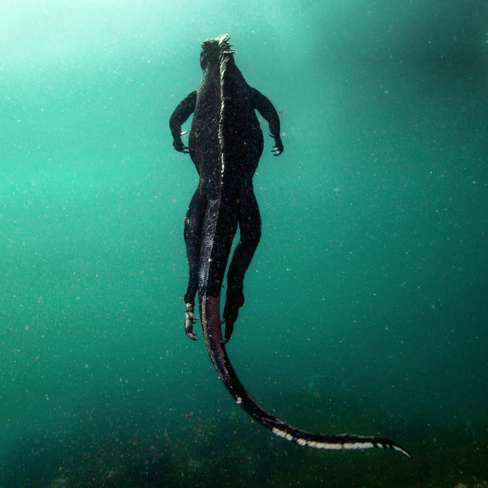 Морская игуана во плоти