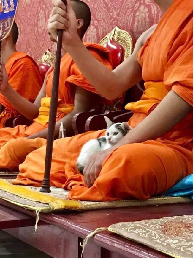 Благотворное влияние мантр Кот, Буддийские монахи, Покой и умиротворение, Примостился, Милота, Длиннопост