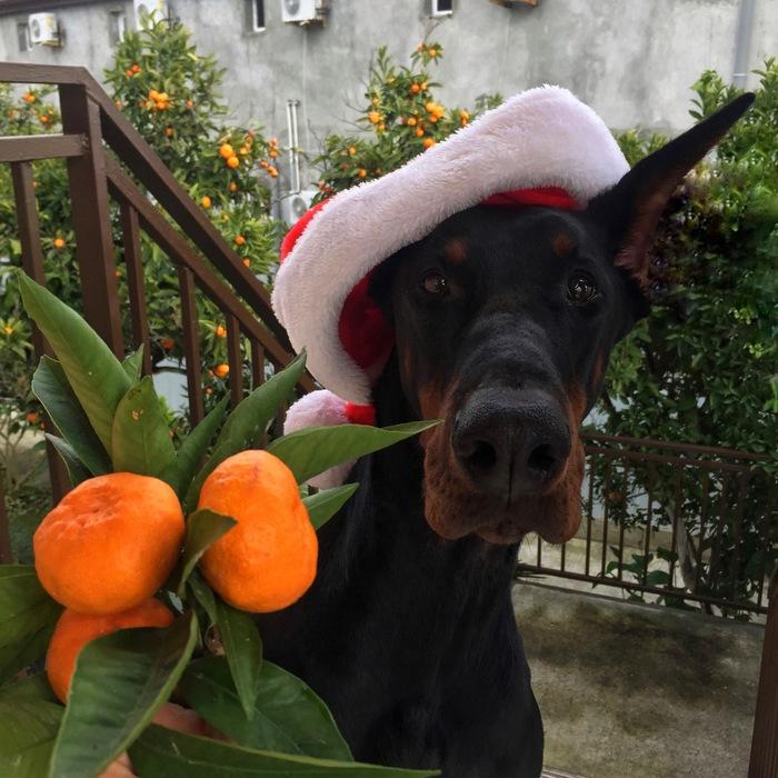 Мандариновые праздники Доберман, Мандарины, Новый Год, Абхазия, Собака