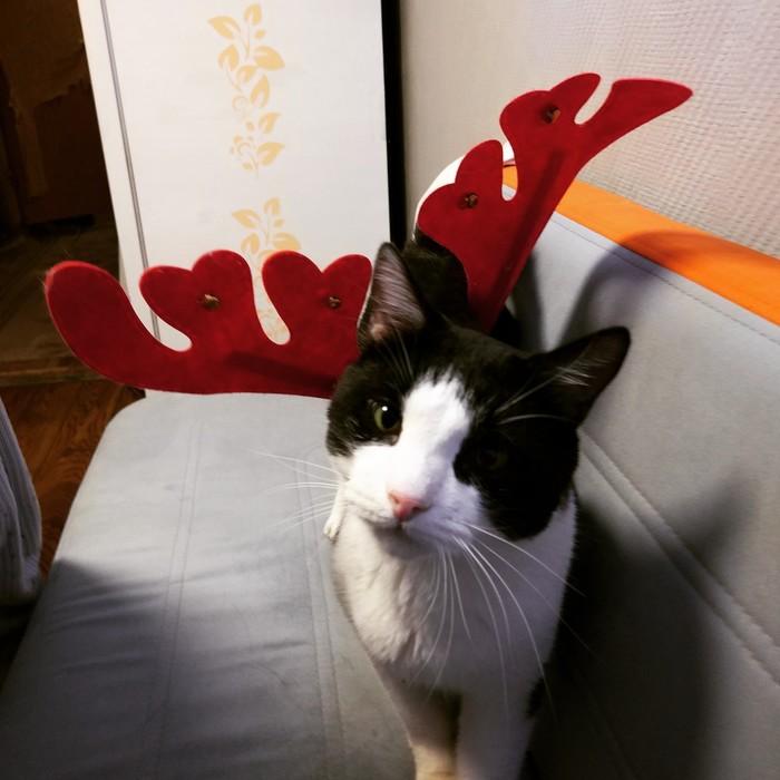 Мои новогодние олени Котомафия, Коты и собаки вместе, Новый Год, Кот, Собака, Лабрадор