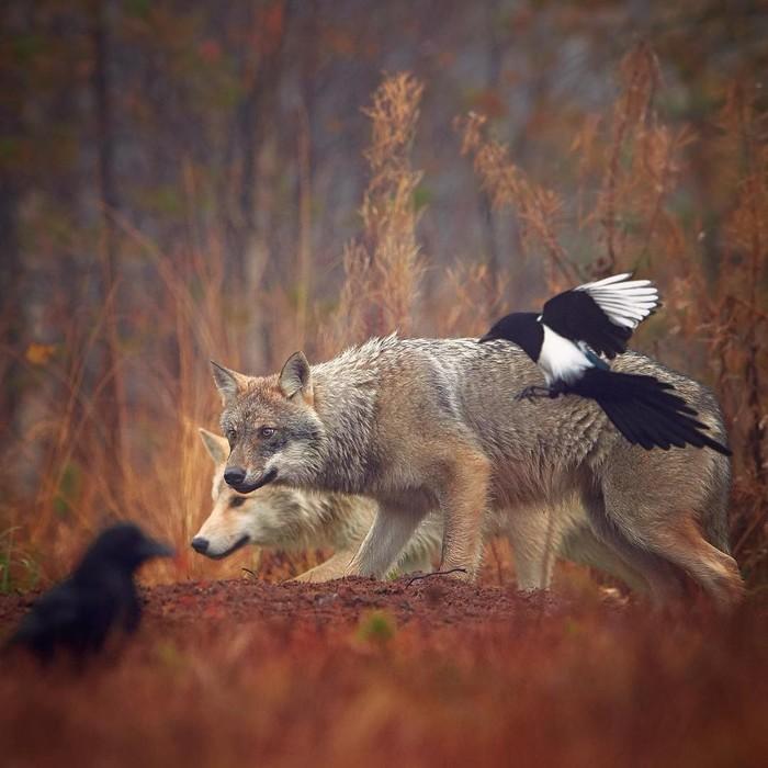 Шерстяные волчары Фотография, Животные, Волк, Птицы, Сорока, Ворон