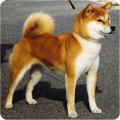 порода собак японский
