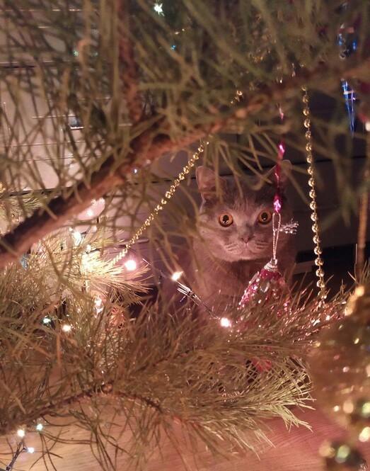 С новым годом! Кот, Новогодняя елка, Ёлка, Шотландец
