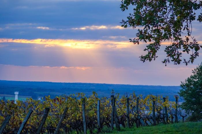 Виноградники на закате. Начинающий фотограф, Виноградник, Франция, Природа, Длиннопост