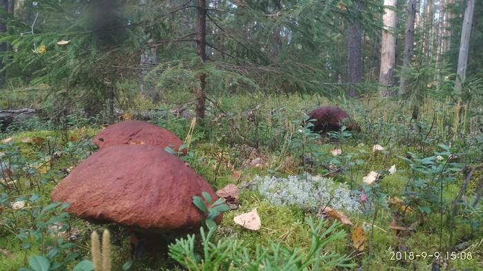 Белые в лесу Тихая охота, Грибы, Лес, Ностальгия