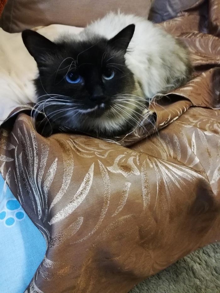 Тайский котик в добрые руки Москва, Кот, Тайская кошка, В добрые руки, Котомафия, Лига Добра, Помощь животным, Без рейтинга, Длиннопост