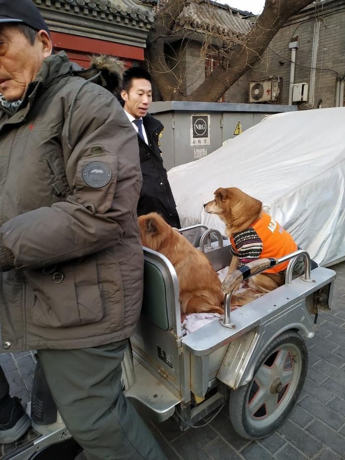 Есть ездовые собаки, а есть собаки, которые любят, чтобы их катали. Собака, Мопед, Ожирение, Ходи пешком, Длиннопост