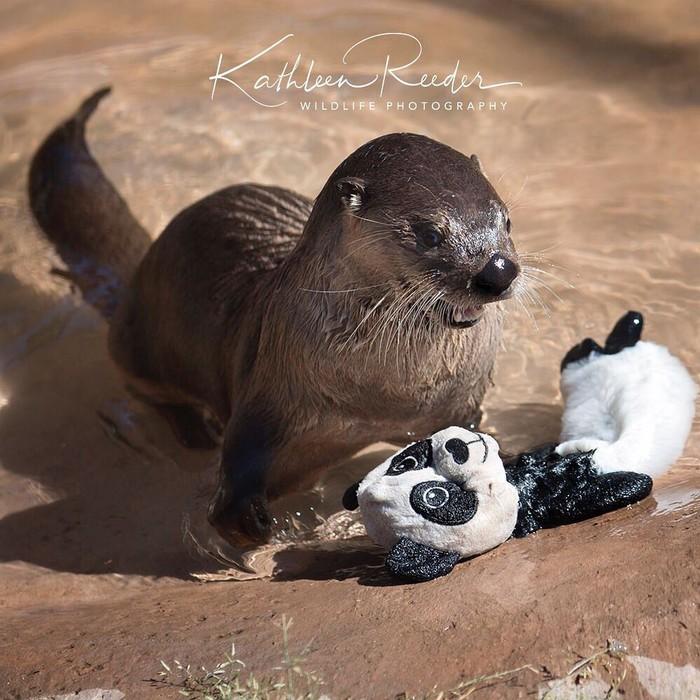 Победа Фотография, Животные, Выдра, Игрушечная панда, Милота