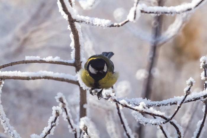 Из пушки по воробьям Фотография, Природа, Птицы, Мороз, Иней, Длиннопост