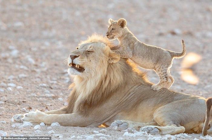 Львёнок играет Лев, Львята, Игры, Длиннопост, Животные