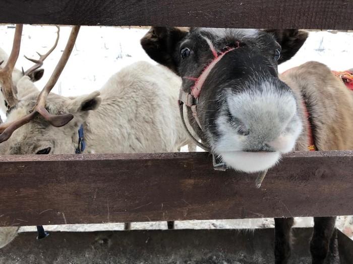 Олени Санты Северные олени, Милота, Новый Год