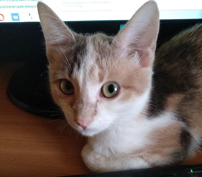 Прошу совета Трехцветная кошка, Находка, Кот, Вопрос, Помощь