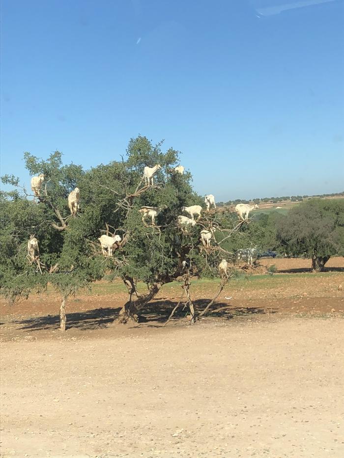 Вопрос к орнитологам Природа, Животные, Коза, Смешное, Необычное, Марокко, Дерево